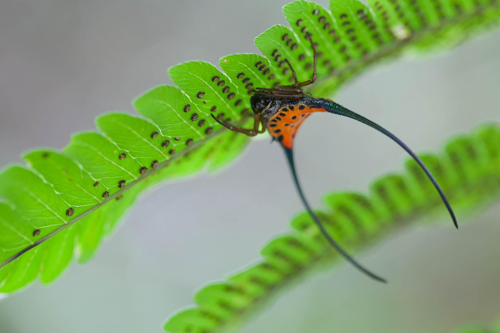Horned Spider